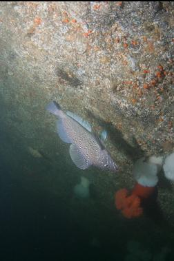 kelp greenling swimming down wall