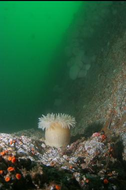 anemone on ledge