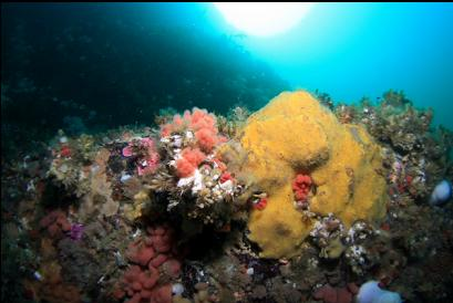 pink soft coral and yellow sponge