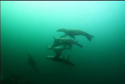 sealions off the wall